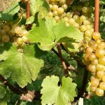 Edukacija vinogradara o zlatnoj žutici