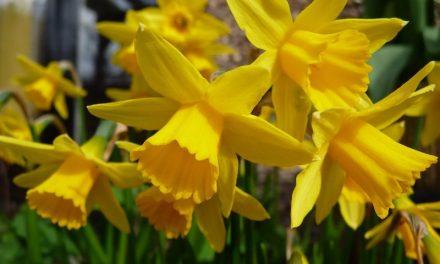 """24.ožujka akcija """"Dan narcisa"""" održat će se i u Nedelišću"""