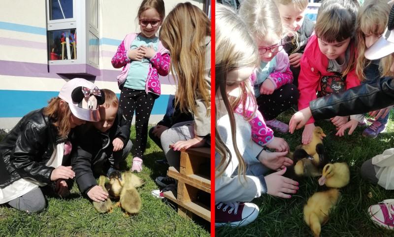 U vrtić došli guščići i jaja iz Udruge uzgajivača malih životinja